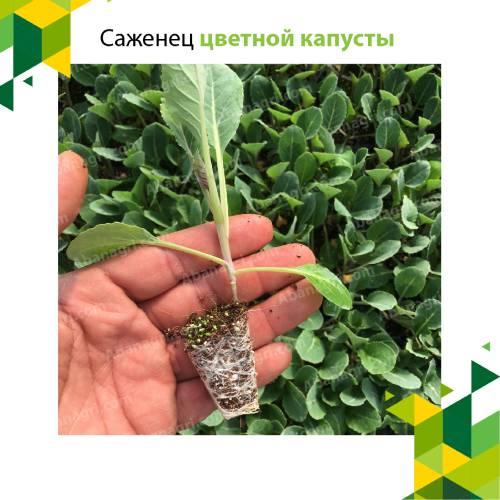 Саженцы цветной капусты раннего и позднего роста