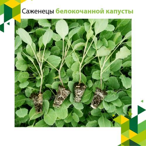 Саженцы белокочанной капусты